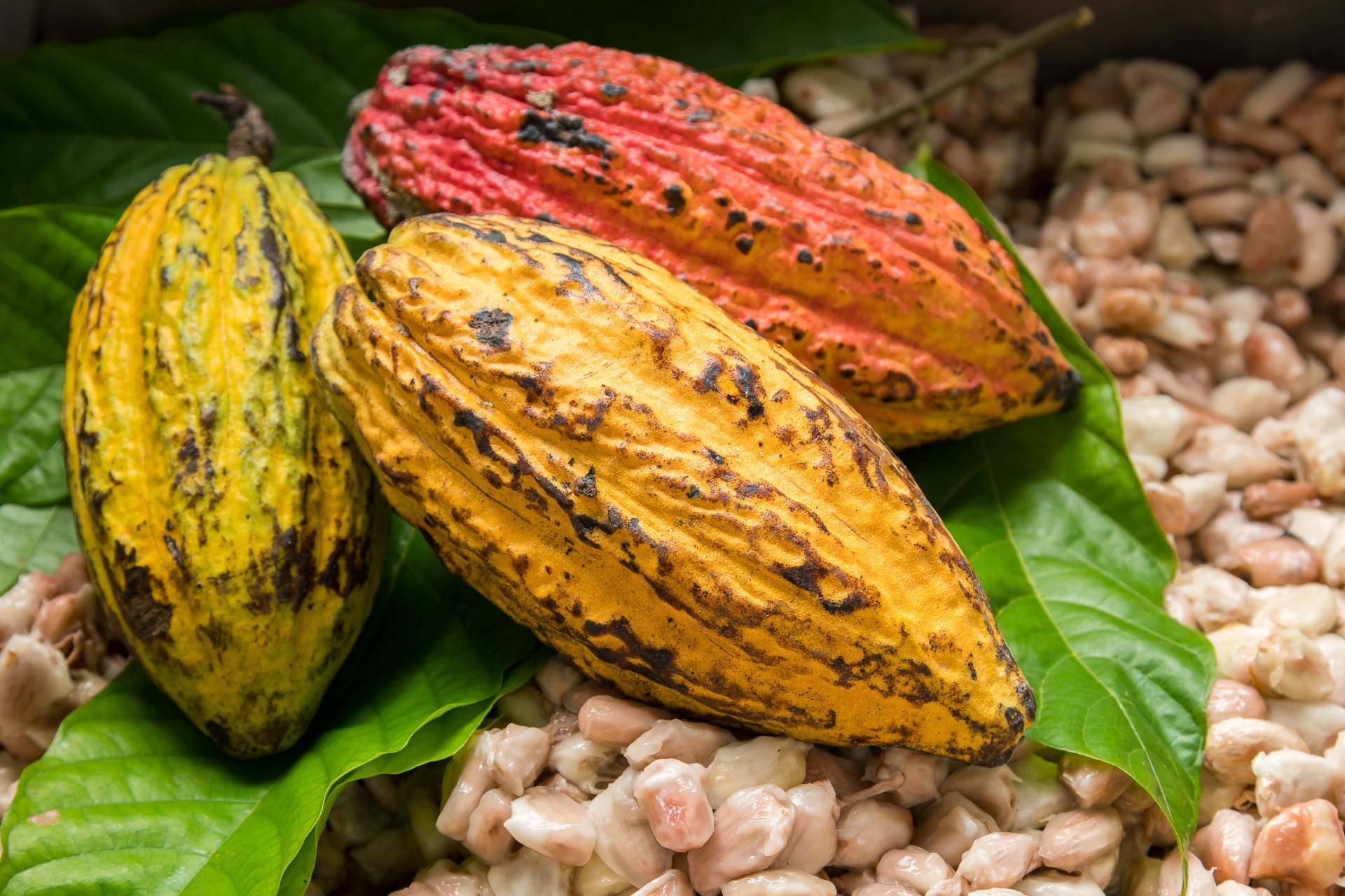 COCOA SEASON EXPLOITERS CAUTIONED
